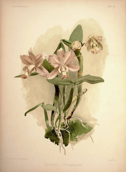 Wall Art - Painting - Orchid, Cattleya Obrieniana by Henry Frederick Conrad Sander