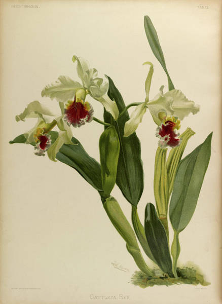 Wall Art - Painting - Orchid, Cattleya Rex by Henry Frederick Conrad Sander