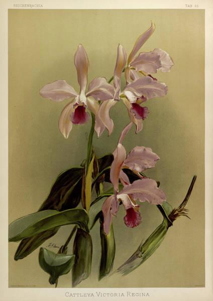 Wall Art - Painting - Orchid, Cattleya Victoria Regina by Henry Frederick Conrad Sander