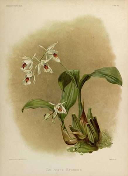 Wall Art - Painting - Orchid, Coelogyne Sanderae by Henry Frederick Conrad Sander