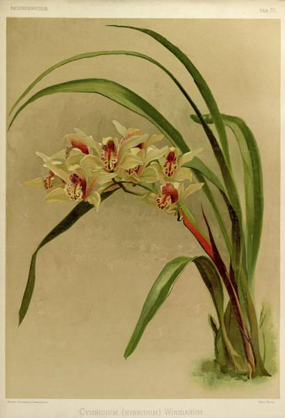 Wall Art - Painting - Orchid, Cymbidium Hybridum Winnianum by Henry Frederick Conrad Sander