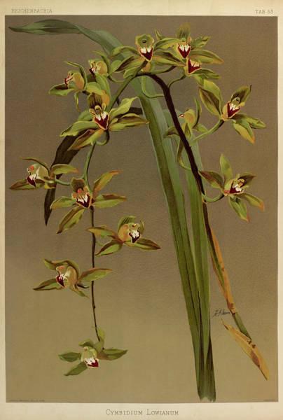 Wall Art - Painting - Orchid, Cymbidium Lowianum by Henry Frederick Conrad Sander