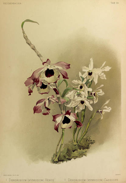Wall Art - Painting - Orchid, Dendrobium Hybridum Venus, Hybridum Cassiope by Henry Frederick Conrad Sander