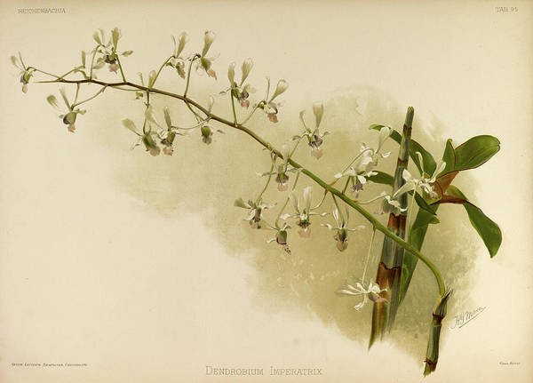 Wall Art - Painting - Orchid, Dendrobium Imperatrix by Henry Frederick Conrad Sander