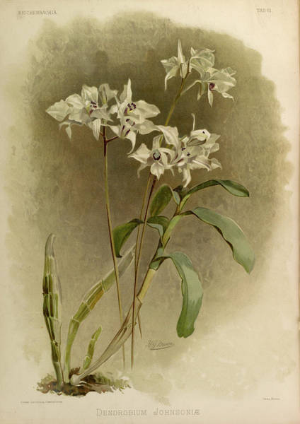 Wall Art - Painting - Orchid, Dendrobium Johnsoniae by Henry Frederick Conrad Sander