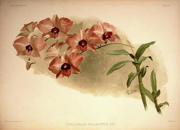 Wall Art - Painting - Orchid, Dendrobium Phalaenopsis Var by Henry Frederick Conrad Sander
