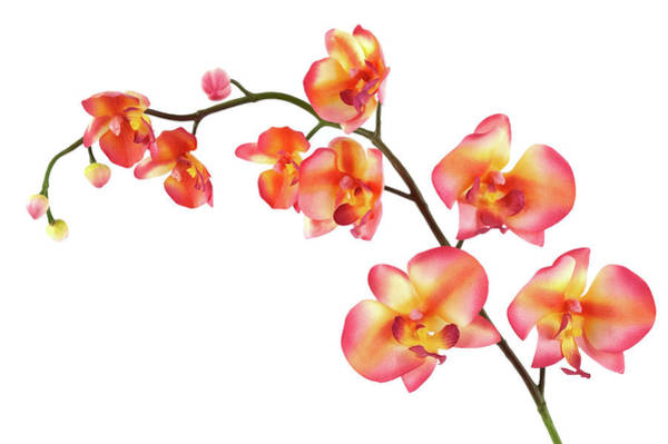 Wall Art - Photograph - Orchid by Elixirpix