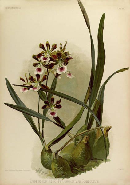 Wall Art - Painting - Orchid, Epidendrum Atro, Purpureum Var Randianum by Henry Frederick Conrad Sander