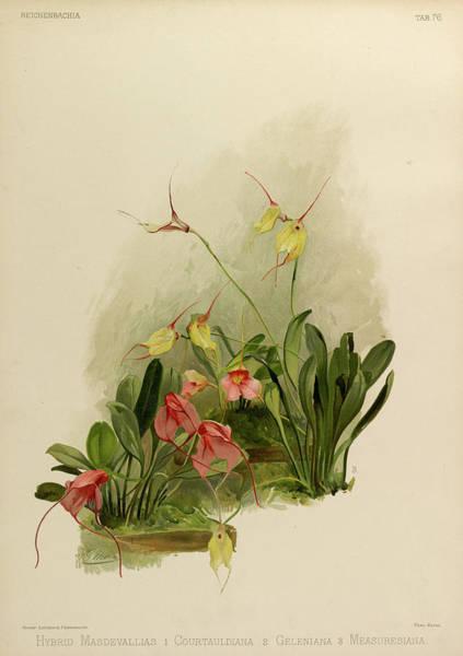 Wall Art - Painting - Orchid, Hybrid Masdevallias 1. Courtauldiana 2. Geleniana 3. Measuresiana by Henry Frederick Conrad Sander