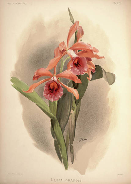 Wall Art - Painting - Orchid, Laelia Grandis by Henry Frederick Conrad Sander