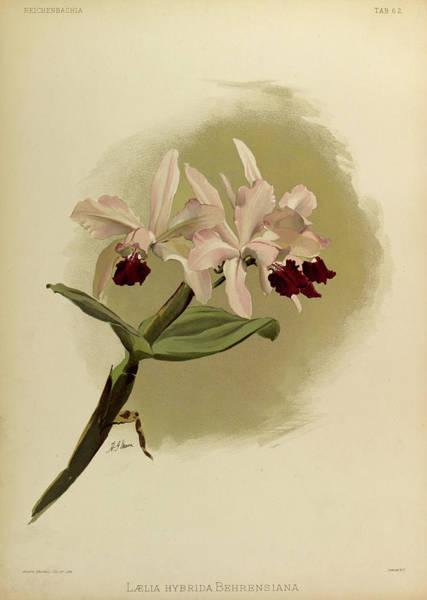 Wall Art - Painting - Orchid, Laelia Hybrida Behrensiana by Henry Frederick Conrad Sander