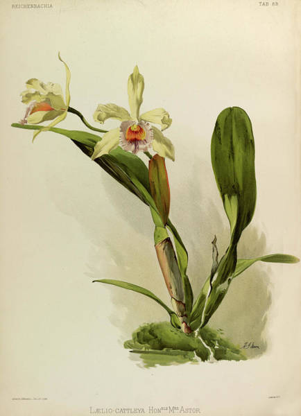 Wall Art - Painting - Orchid, Laelio, Cattleya Honble Mrs Astor by Henry Frederick Conrad Sander