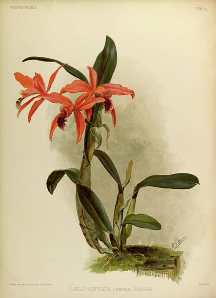 Wall Art - Painting - Orchid, Laelio, Cattleya Hybrida Phoebe by Henry Frederick Conrad Sander