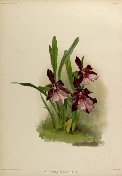 Wall Art - Painting - Orchid, Miltonia Moreliana by Henry Frederick Conrad Sander