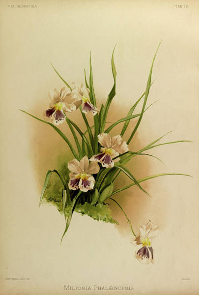 Wall Art - Painting - Orchid, Miltonia Phalaenopsis by Henry Frederick Conrad Sander