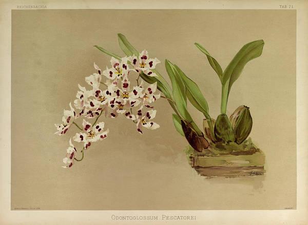 Wall Art - Painting - Orchid, Odontoglossum Pescatorei by Henry Frederick Conrad Sander