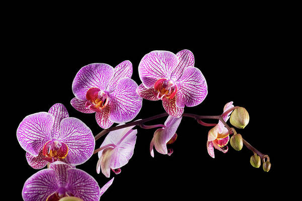 Wall Art - Photograph - Orchid On Black by Slobo