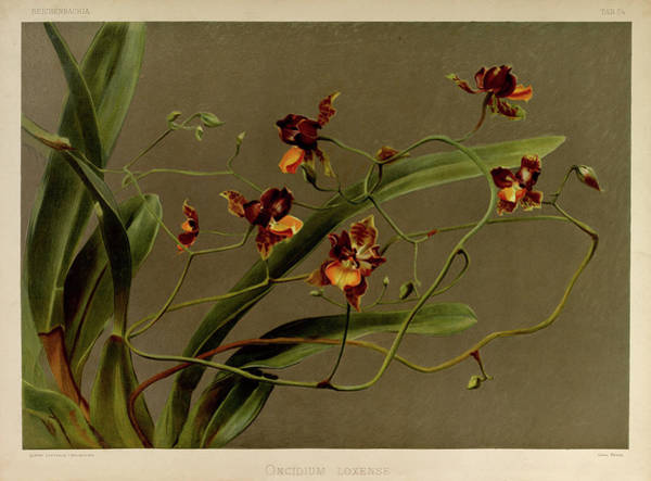 Wall Art - Painting - Orchid, Oncidium Loxense by Henry Frederick Conrad Sander