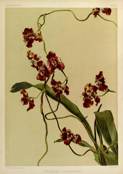 Wall Art - Painting - Orchid, Oncidium Superbiens by Henry Frederick Conrad Sander