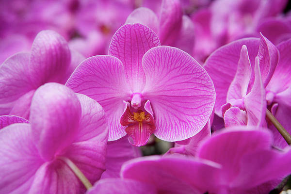 Hong Kong Orchid Photograph - Orchid  Orchidaceae At Flower Market by Holger Leue