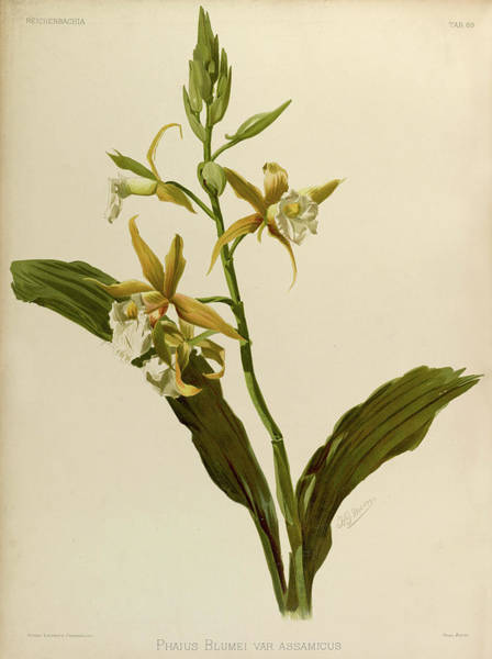 Wall Art - Painting - Orchid, Phaius Blumei Var Assamicus by Henry Frederick Conrad Sander