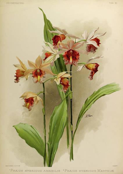 Wall Art - Painting - Orchid, Phaius Hybridus Amabilis, Marthiae by Henry Frederick Conrad Sander