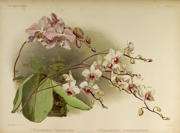 Wall Art - Painting - Orchid, Phalaenopsis Sanderiana, Intermedia Portei by Henry Frederick Conrad Sander