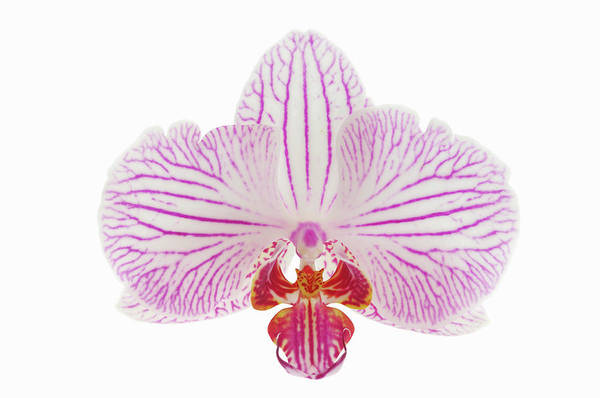 White Background Photograph - Orchid Phalaenopsis Spec. Close Up With by Martin Ruegner