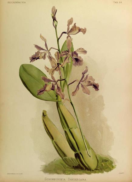 Wall Art - Painting - Orchid, Schomburgkia Sanderiana by Henry Frederick Conrad Sander