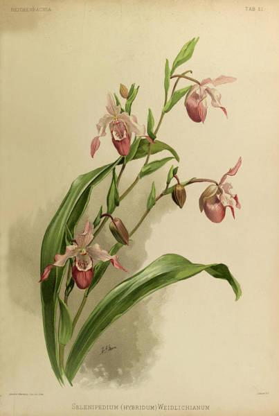 Wall Art - Painting - Orchid, Selenipedium Hybridum Weidlichianum by Henry Frederick Conrad Sander