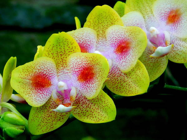Wall Art - Photograph - Orchid Spray - Lewis Ginter Botanical Gardens by Arlane Crump