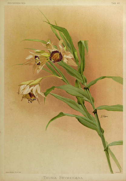Wall Art - Painting - Orchid, Thunia Brymeriana by Henry Frederick Conrad Sander