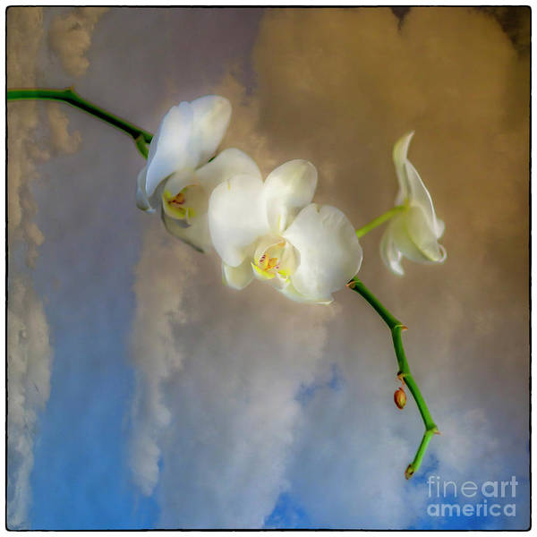 Photograph - Orchid With Clouds by Natural Abstract Photography