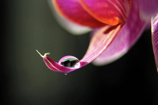 Drops Of Water Wall Art - Photograph - Orchid With Water Droplet by Image By Catherine Macbride