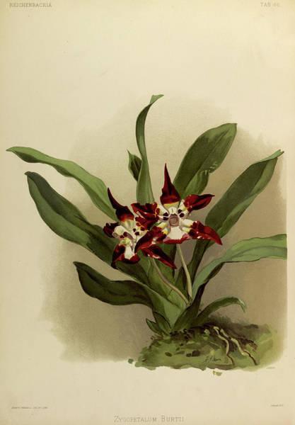 Wall Art - Painting - Orchid, Zygopetalum Burtii by Henry Frederick Conrad Sander