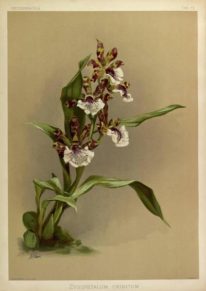 Wall Art - Painting - Orchid, Zygopetalum Crinitum by Henry Frederick Conrad Sander