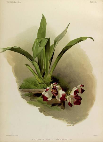 Wall Art - Painting - Orchid, Zygopetalum Klabochorum by Henry Frederick Conrad Sander