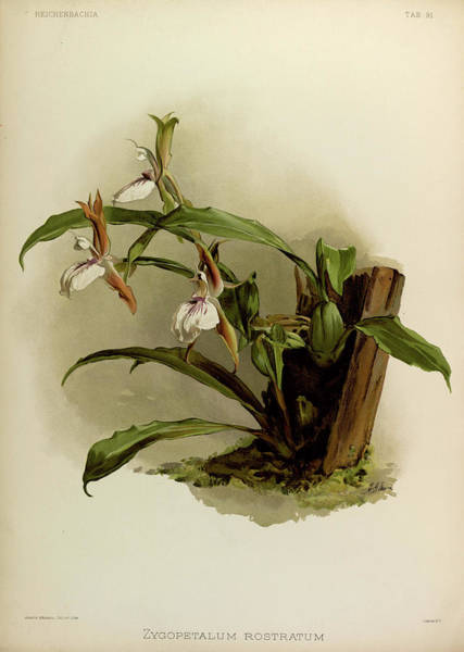 Wall Art - Painting - Orchid, Zygopetalum Rostratum by Henry Frederick Conrad Sander