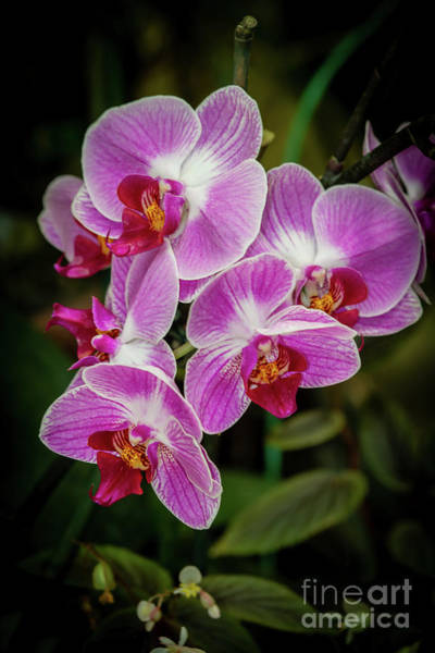 Photograph - Orchids In The Pink by Sabrina L Ryan