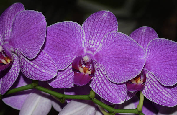 Photograph - Orchids by Larah McElroy