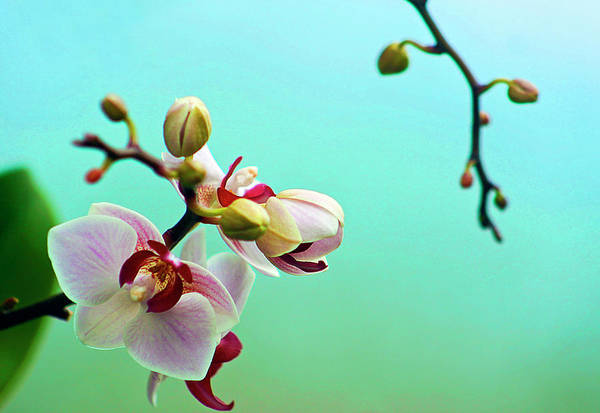 Nature Photograph - Orchids Out For A Breath Of Fresh Air by Photo By Alan Shapiro