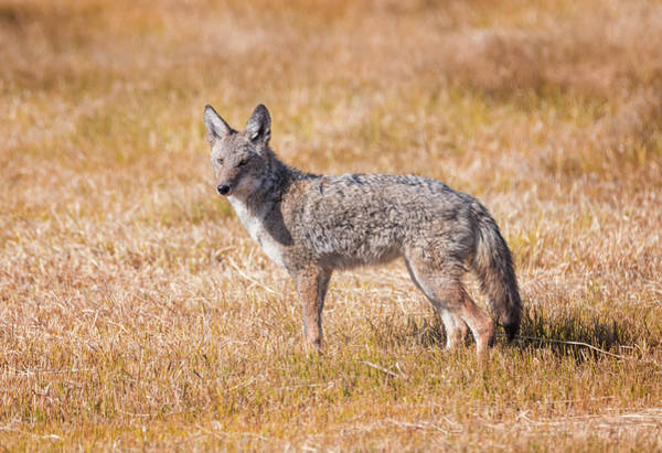 Photograph - Oregon Coyote by Loree Johnson