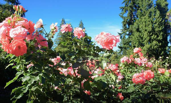 Wall Art - Photograph - Oregon Rose Test Garden  by Art Spectrum