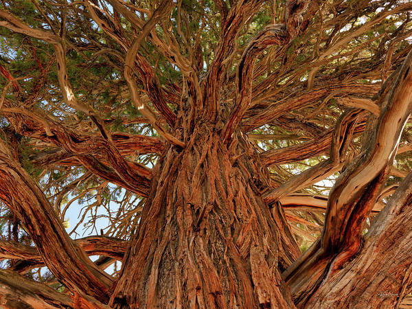 Juniper Photograph - Oregon State Champion Western Juniper by Leland D Howard