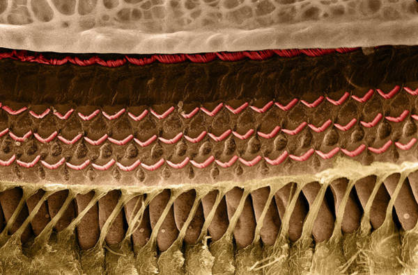 Wall Art - Photograph - Organ Of Corti, Hair Cells, Tunnel by Wellcome Images