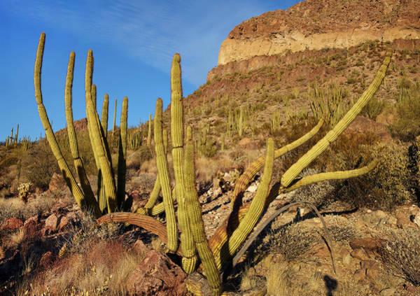 Photograph - Organ Pipe Cactus, Ajo Mts, Organ Pipe by