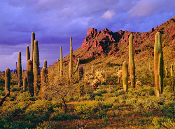 Pipe Organ Photograph - Organ Pipe Cactus National Monument by Ron thomas