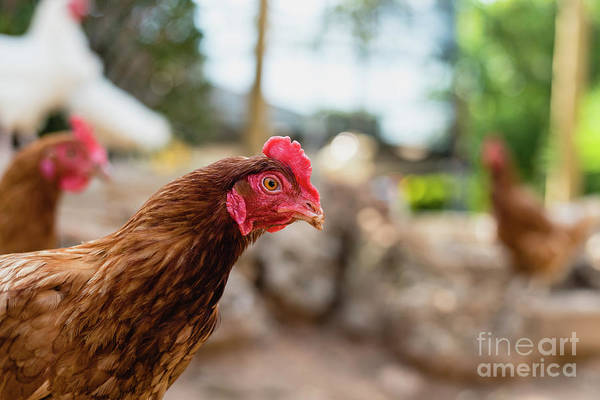 Photograph - Organic Chickens In Their Corral. by Joaquin Corbalan