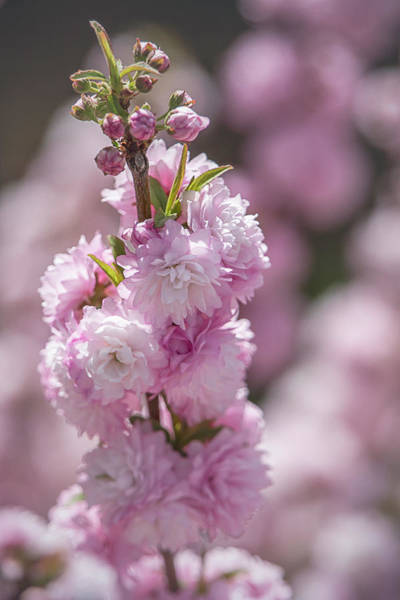 Photograph - Oriental Cherry Blossoms By Tl Wilson Photography by Teresa Wilson