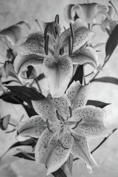 Photograph - Oriental Lily Pair-bw by Jennifer Wick